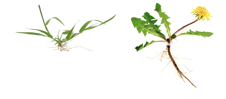 crabgrass vs dandelion roots shown side by side on a white background