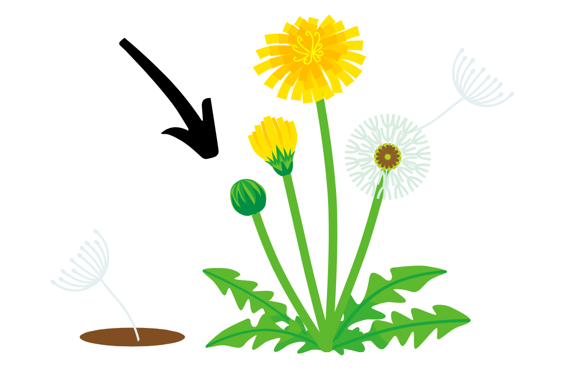 life cycle of a dandelion from seed to flowering. arrow pointing at the young weed